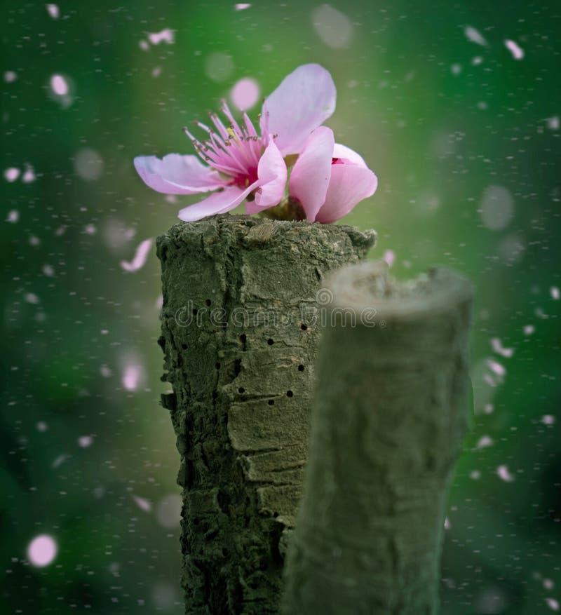 Brzoskwini okwitnięcia kwiat spadać na kawałku drewno zdjęcie royalty free