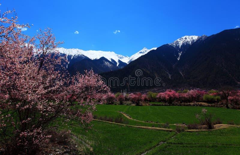 Brzoskwini okwitnięcie i śnieg nakrywać góry zdjęcia royalty free