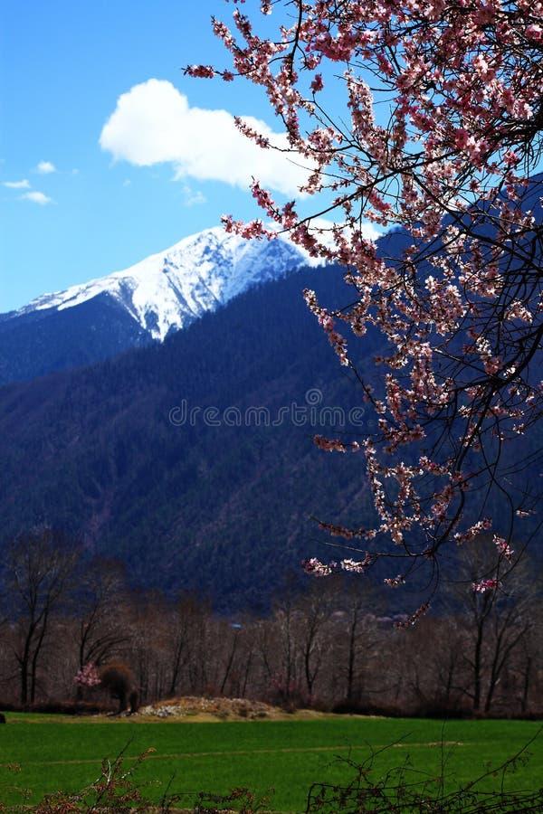 Brzoskwini okwitnięcie i śnieg nakrywać góry fotografia royalty free