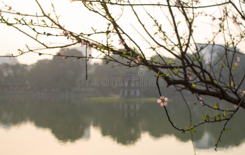 Brzoskwini okwitnięcie w zmierzchu Kordzik niedalekim jeziorze, Hanoi Wietnam zdjęcia stock