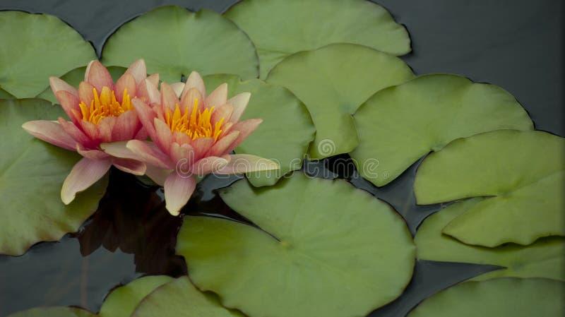 Brzoskwini Różowe Wodne leluje fotografia stock