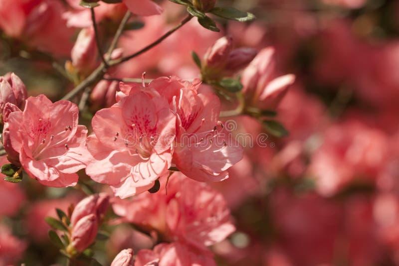 Brzoskwini wiosny azalii Kwitnący tło fotografia royalty free