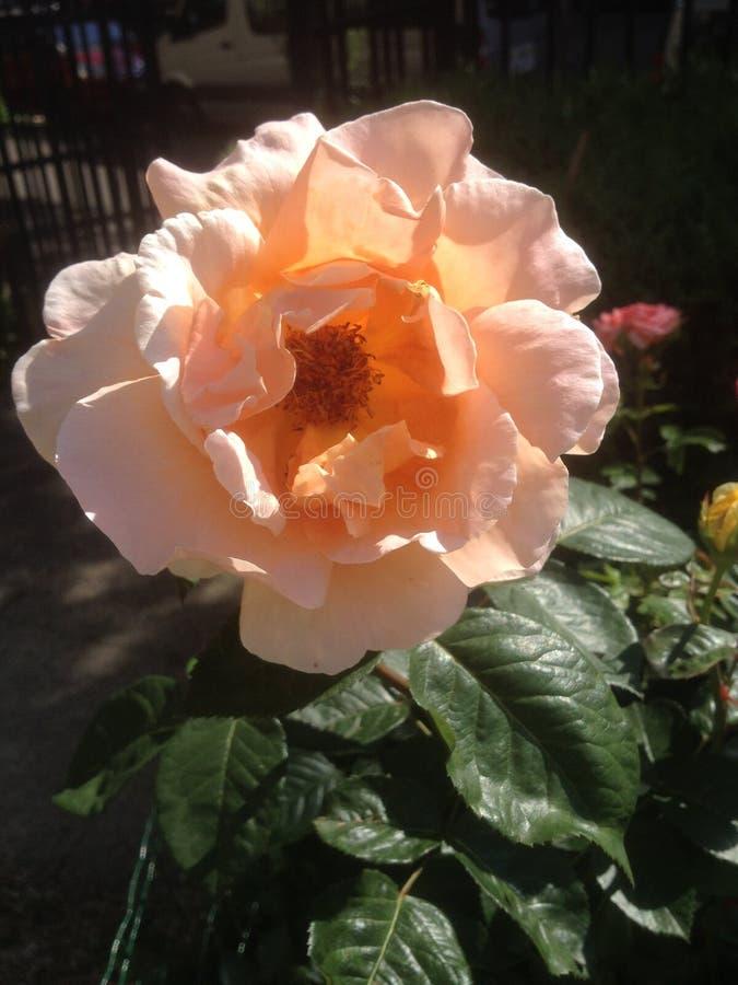 Brzoskwinia coloured Wzrastał Paryż, Francja - Colour twój dzień z różami - obraz royalty free