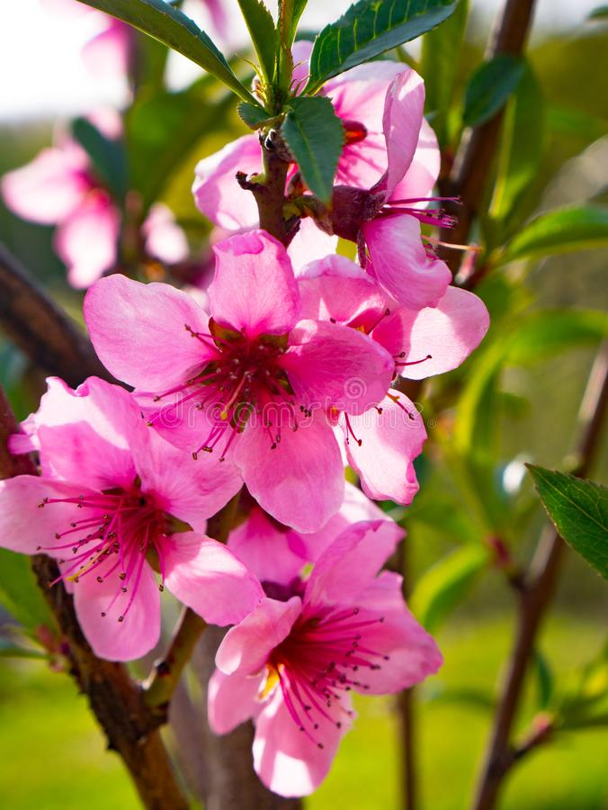 Brzoskwinia kwiatów okwitnięcie w wiośnie fotografia royalty free
