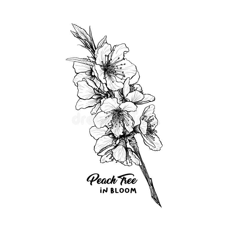 Brzoskwinia kwiatów ręka rysujący ilustracyjny nakreślenie ilustracja wektor
