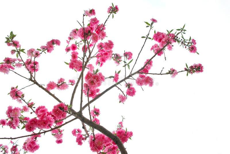 Brzoskwinia kwiaty obraz stock