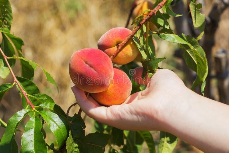 Brzoskwinia na drzewie zdjęcia stock