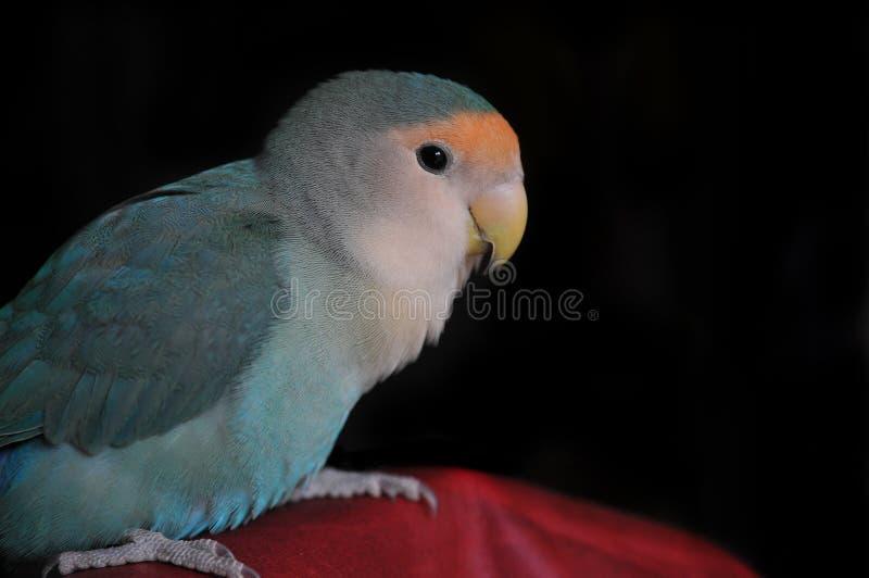 Brzoskwinia stawiający czoło lovebird zakończenie up fotografia stock