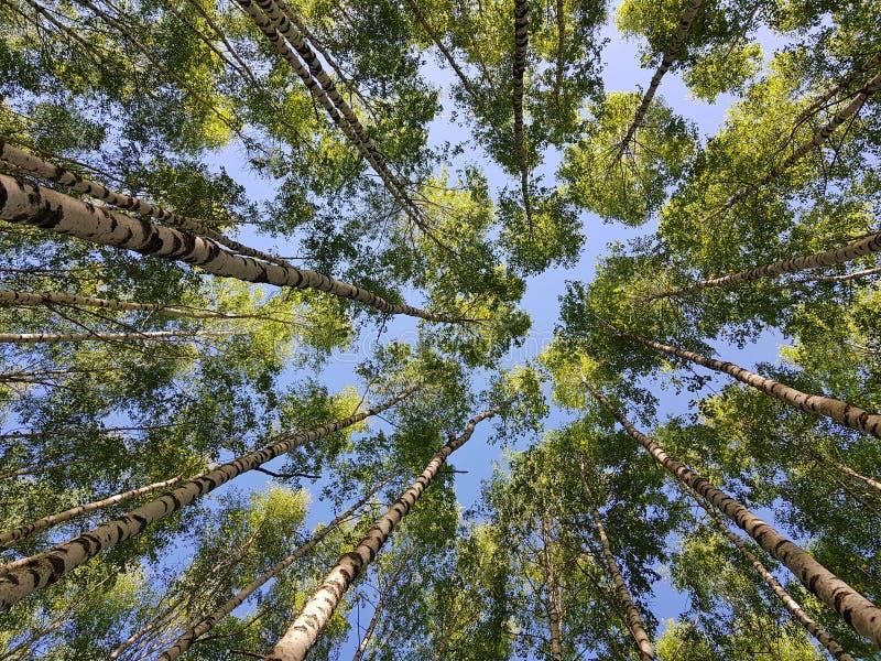 Brzoz drzew bagażniki przyglądający w górę li?? zielona wiosna obrazy royalty free