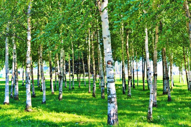 Brzoz drzewa zdjęcia stock