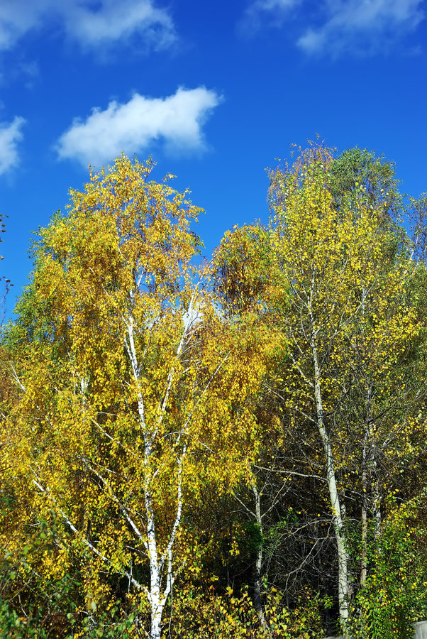 brzoz drzewa zdjęcie royalty free