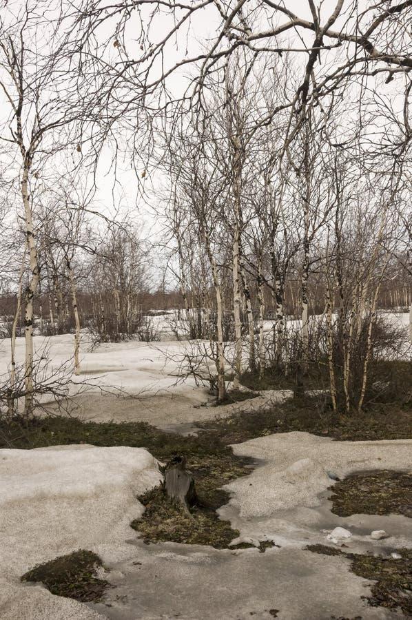 Brzoz drzewa bez liści w wczesnej wiośnie maszerujący obraz stock