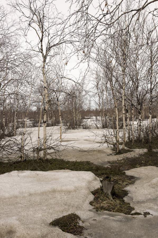 Brzoz drzewa bez liści w wczesnej wiośnie maszerujący zdjęcia royalty free