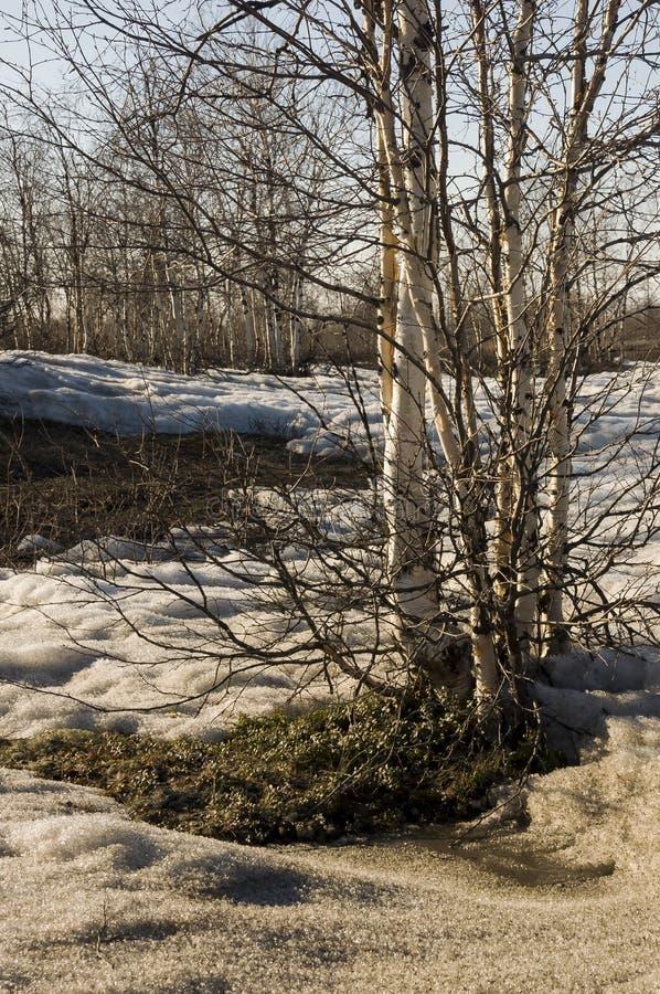 Brzoz drzewa bez liści w wczesnej wiośnie maszerujący fotografia stock