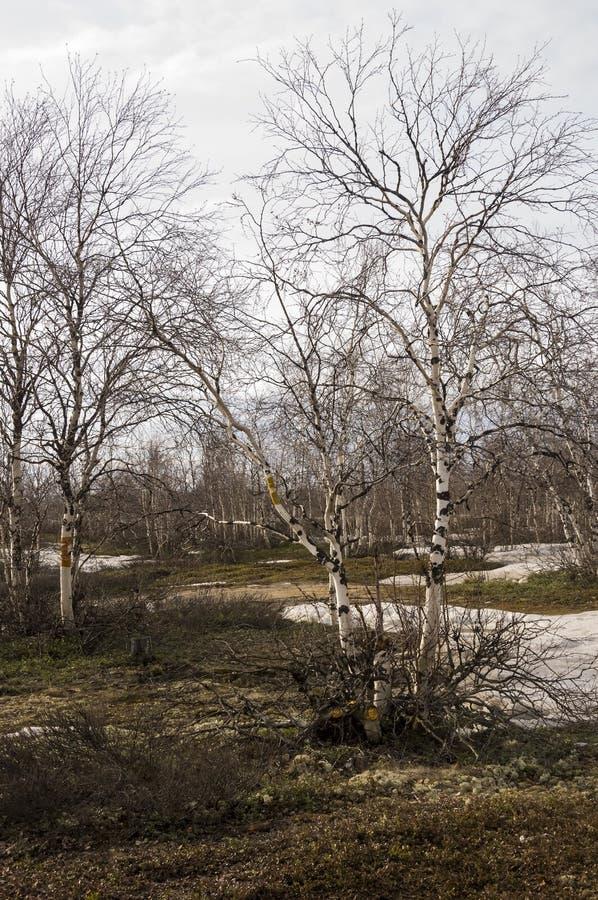 Brzoz drzewa bez liści w wczesnej wiośnie maszerujący obrazy stock