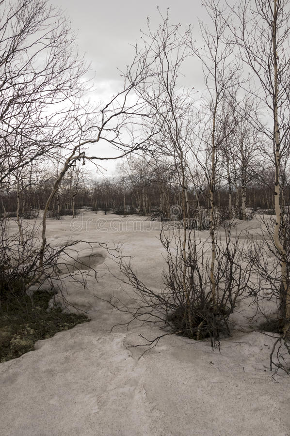 Brzoz drzewa bez liści w wczesnej wiośnie maszerujący zdjęcie royalty free