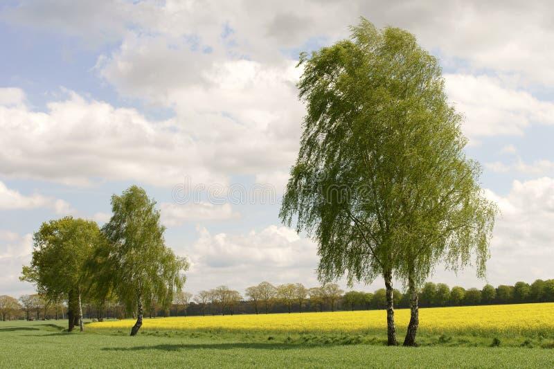 Brzoz drzewa i gwałta pole obraz stock