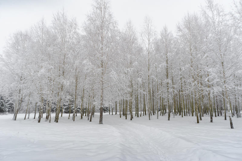 Brzoz drzewa pod wysokość naciskiem śniegiem obrazy royalty free