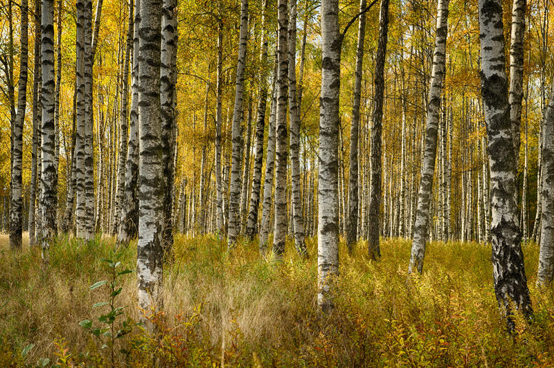 Brzoz drzewa w spadku obrazy stock