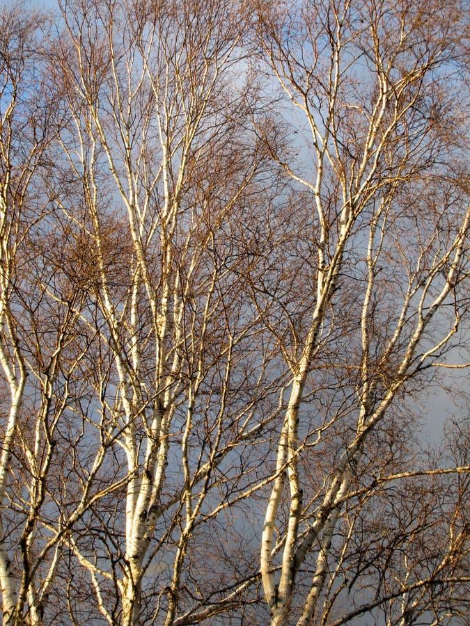 Brzoz drzewa w zimie zdjęcia stock