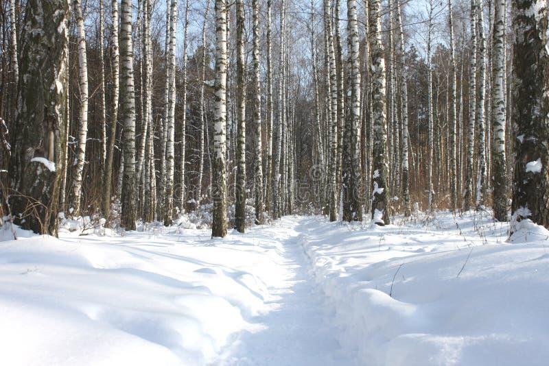 Brzoz drzewa z brzozy barkentyną w brzoza lesie wśród innych brzoz w zimie na śniegu obrazy stock