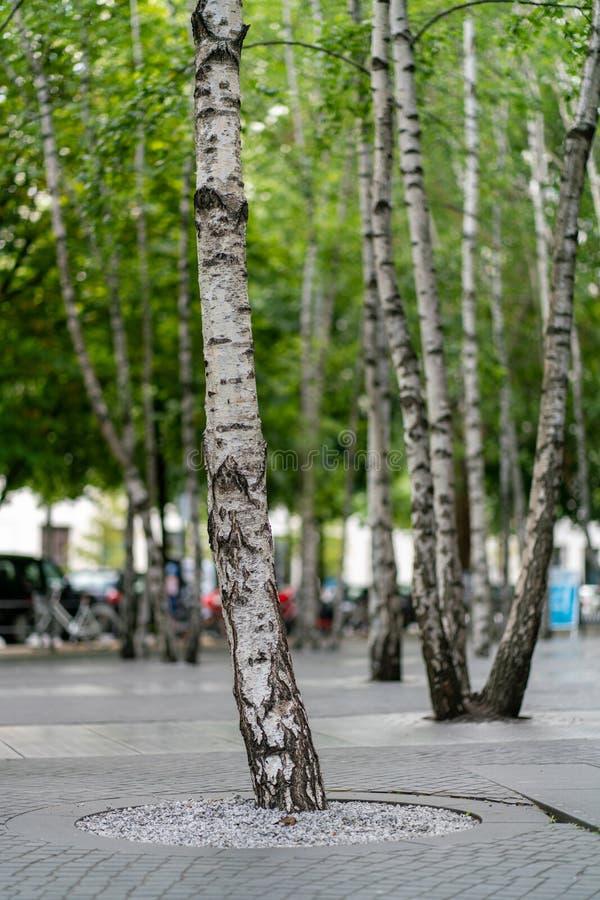Brzoz drzewa zasadzający w betonowej podłodze zdjęcie stock