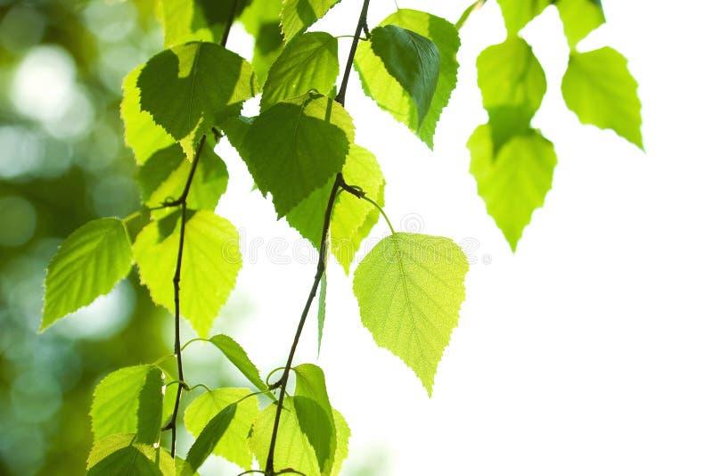 Brzoza świezi zieleni liść obraz royalty free