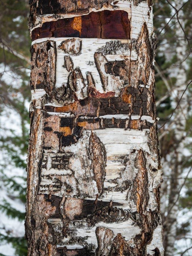 Brzoza bagażnik z krakingową barkentyną w niektóre miejscach w zima lesie w Altai, Rosja fotografia stock