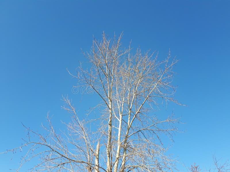 Brzoza bez liści przeciw niebieskiemu niebu fotografia stock