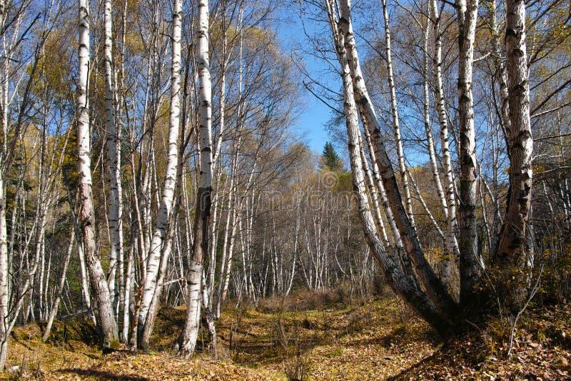 Brzoza biały las obraz royalty free