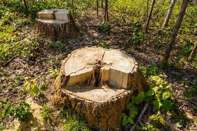 Brzoza fiszorek w lesie zdjęcia royalty free