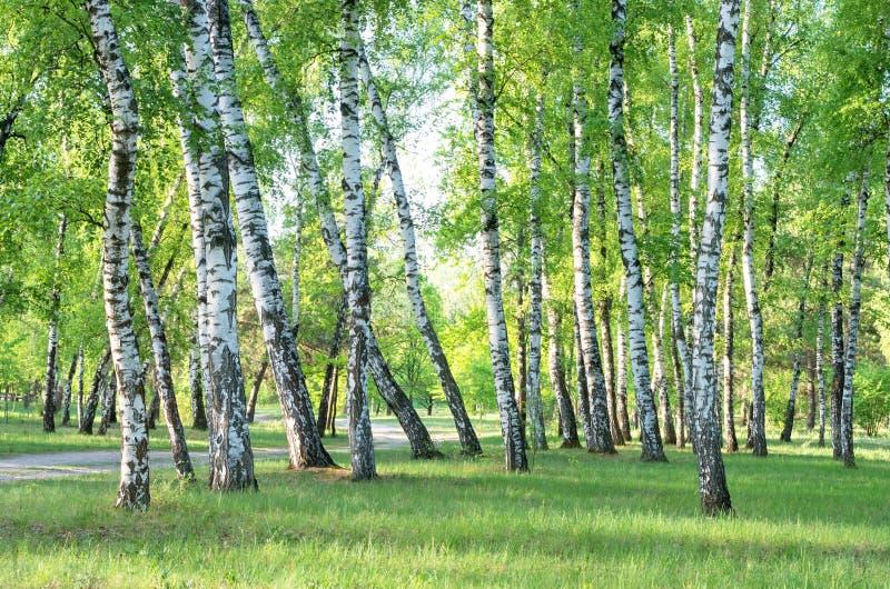 Brzoza gaj, lasowy ślad, lato fotografia stock