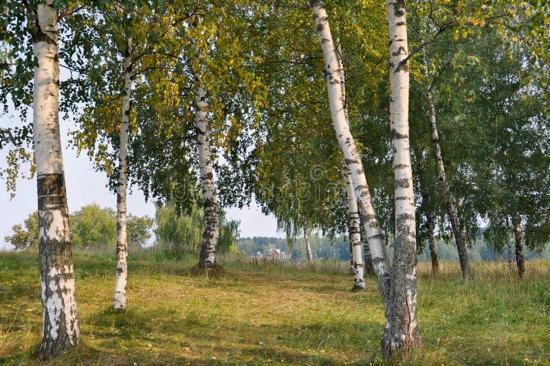 Brzoza gaj na lato wieczór w miasteczku Ples, Ivanovo region, Rosja obraz stock