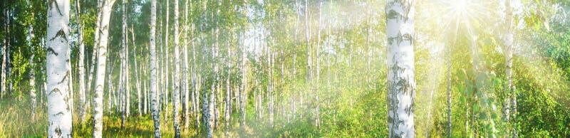 Brzoza gaj na pogodnym letniego dnia krajobrazu sztandarze obraz royalty free
