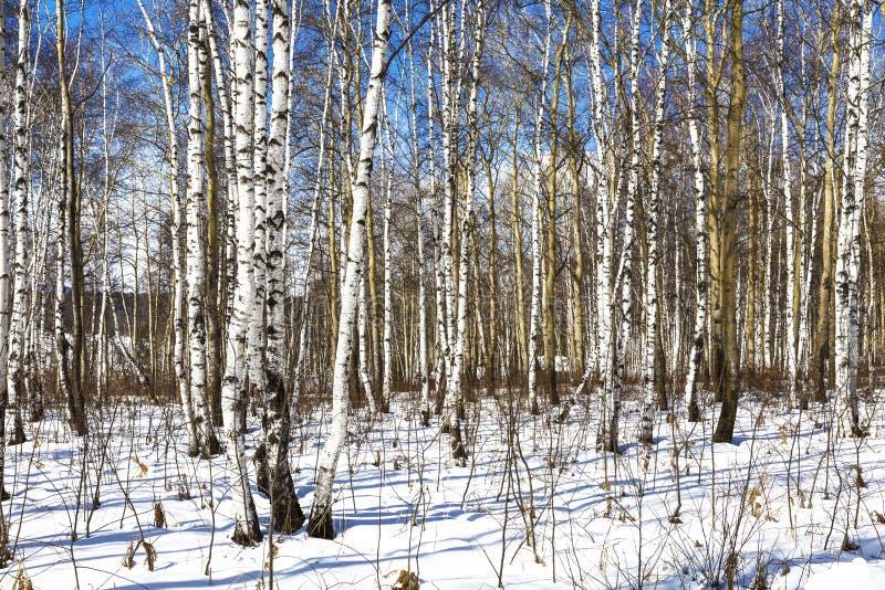 Brzoza gaj na pogodnym zima dniu, obrazy stock