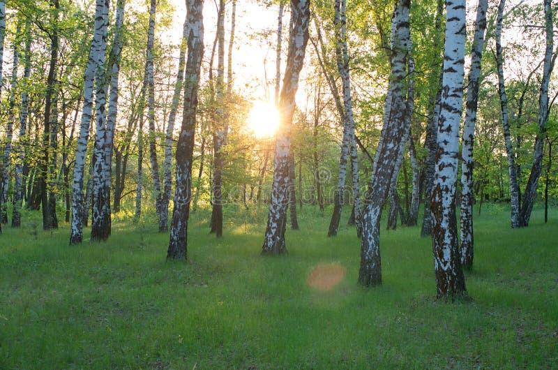 Brzoza gaj słońce przez drzew obrazy stock