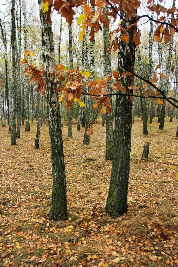 brzoza gaj w jesień dniu obraz stock