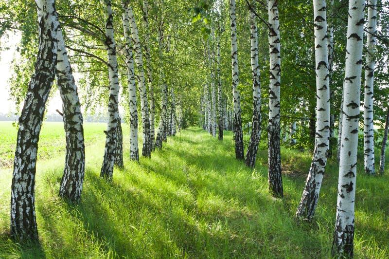 Brzoza las. Brzoza Gaj. Biały brzozy bagażniki. obrazy stock