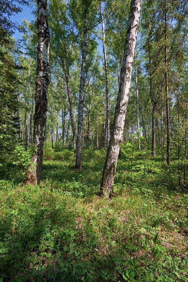 Brzoza las przy wiosna czasem fotografia royalty free