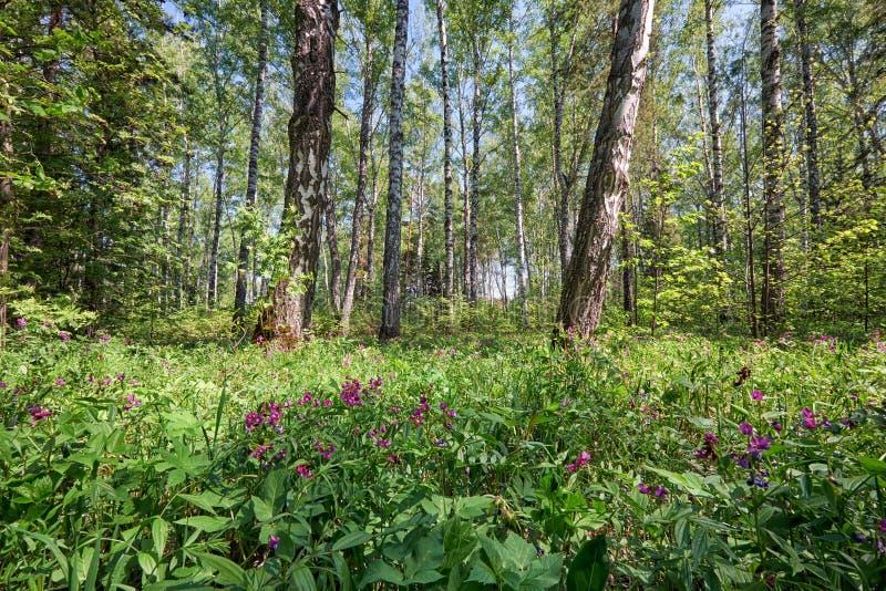 Brzoza las przy wiosna czasem obrazy stock
