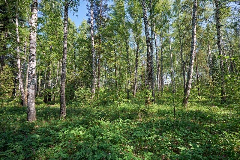 Brzoza las przy wiosna czasem zdjęcie stock