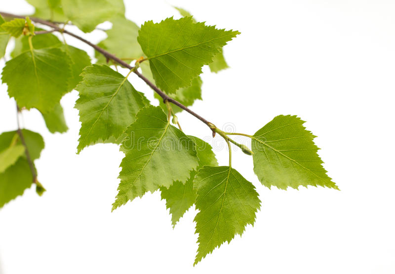 Brzoza liście drzewo. obraz royalty free