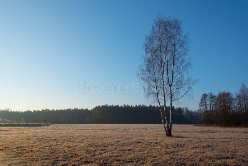 Brzoza na mroźnym jesień ranku zdjęcia royalty free