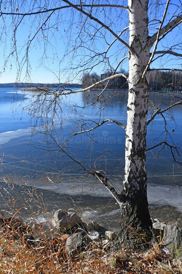 Brzoza na sklepie jeziorny Uvildy w opóźnionej jesieni w jasnej pogodzie, Chelyabinsk region Rosja obraz stock