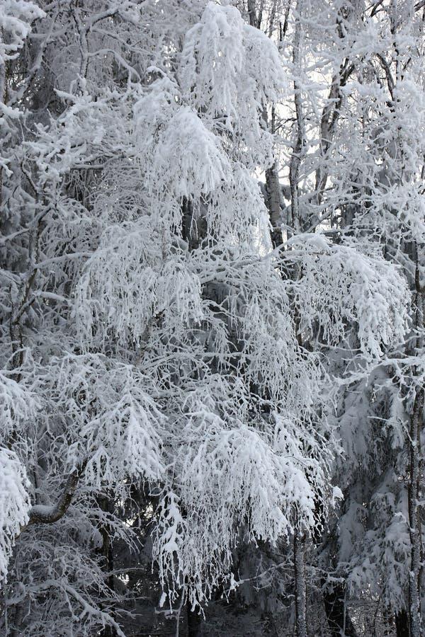 Brzoza rozgałęzia się pod śniegiem obraz stock