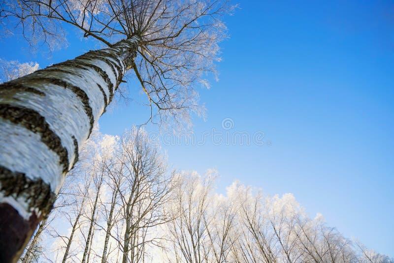Brzoza rozgałęzia się w mrozie przeciw niebu fotografia stock