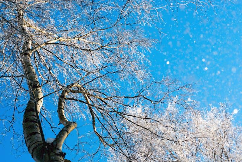 Brzoza rozgałęzia się w mrozie przeciw niebu obraz stock