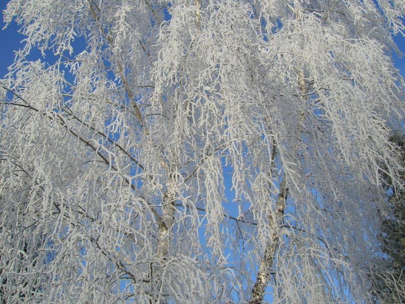 Brzoza w zimie z śnieżnymi gałąź zdjęcia royalty free