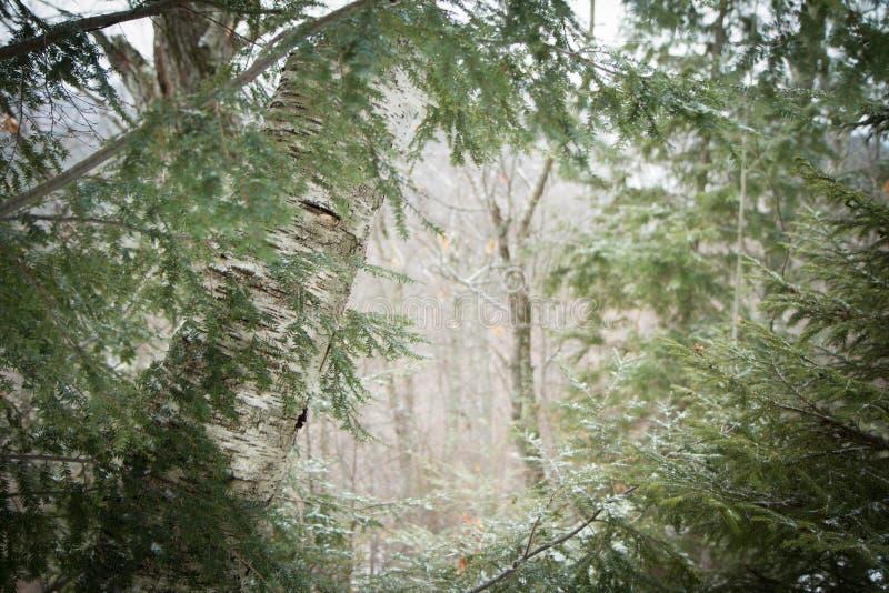 brzoza zakrywający śnieg zdjęcia stock