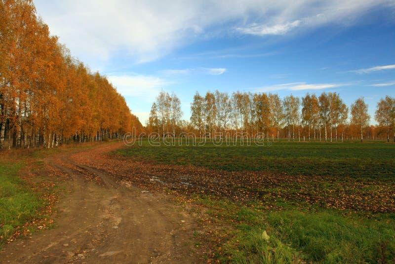 Brzozy aleja w jesieni Russia obrazy stock